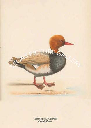 RED-CRESTED POCHARD - Fuligula Rulina